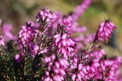 Flowers, Erica, Floral, Plants, Natural, Blossom, Bloom