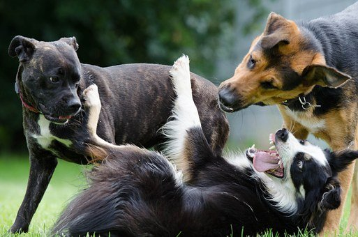 Border Collie, Hybrid, Funny, Playing Dogs, Puppy Group