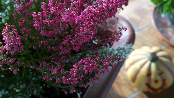 Retama, Erica, Heiden, Erika, Genus, Nature, Ericaceae