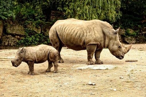 Rhino Rhino Calf, Young Animal, Mother, Rhinozeross