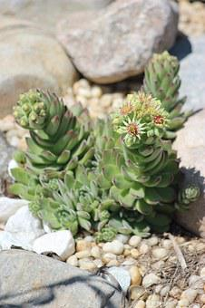 Succulent, Plant, Flower, Green, White, Botany