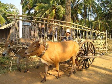 Cambodia, Oxen, Ox, Transport, Rural, Local, Live