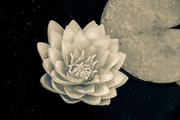 Water Lily, Nuphar Lutea, Leaves, Isolated, Tropical