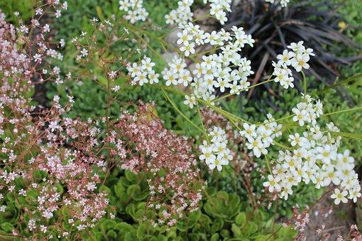 Flower, Alpine, Garden, Rock Race, White Flowers