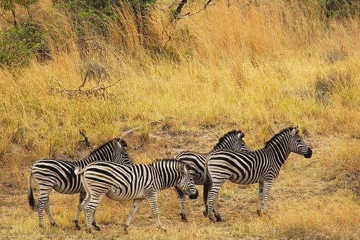 Zebras, Exciting, Adventure, Safaris, Scenic, Beautiful