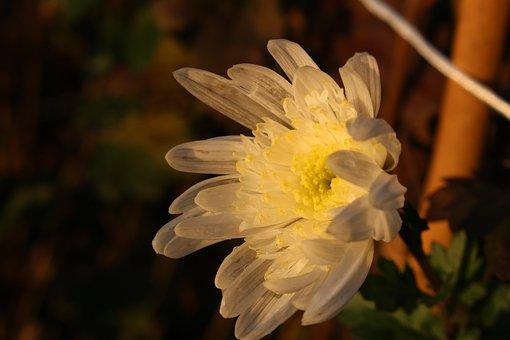 Flower, Last Flower, Autumn, Petals, Delicate, Sunset