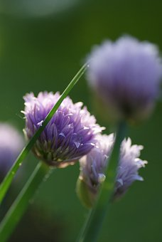 Chives, Leek, Blossom, Bloom, Bud, Eat, Herb, Herbs