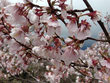 Cherry Blossoms, Takato, Co Higanzakura, Nagano, Spring