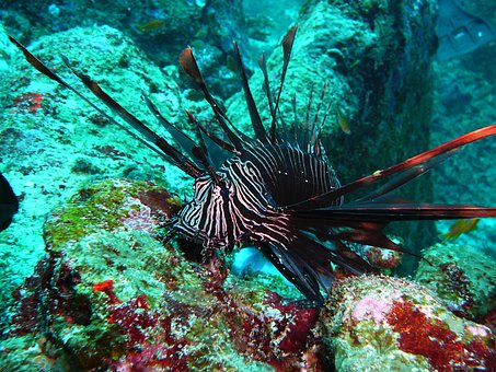 Red Fire Fish, Lionfish, Black Fire Fish, Colorful