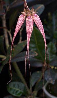 Orchid, Cirrhopetalum, Elizabeth Ann Buckleberry