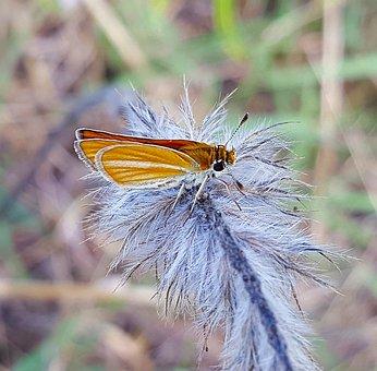 Butterfly, Skipper Butterfly, Skipper, European Skipper