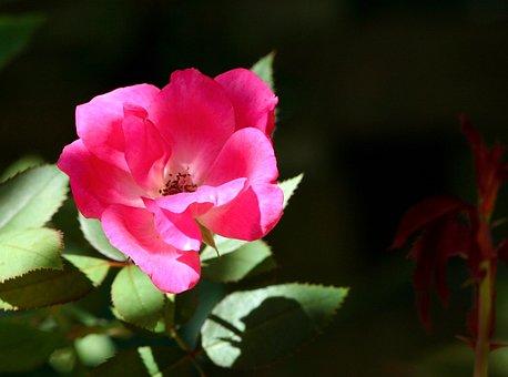Old Time Rose, Flower, Pink, Garden, Flora, Floral