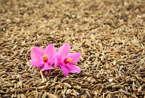 Orhid, Flower, Cumin, Closeup, Spice, Grains