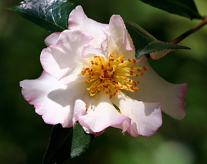 Camellia, Flower, Theaceae, Blossom, Petal, Bloom