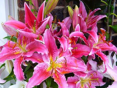 Stargazer Lily Oriental, Flower, Pink, Garden, Flora