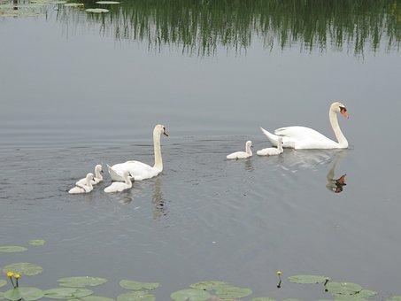 Water, Swans, Pullen, Birds, Gracefully, Waterfowl