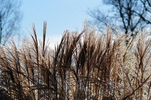 Grasses, Reed, Plant, Nature, Silvery, Garden, Soft