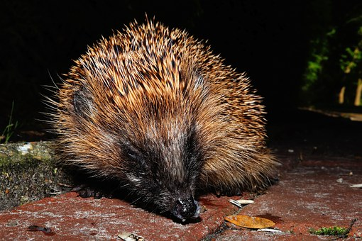 Hedgehog, Young Animal, Prickly, Foraging, Cute, Brown