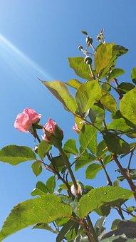 Queen Elizabeth Rose Bush, Roses, Pink, Rose Blossoms