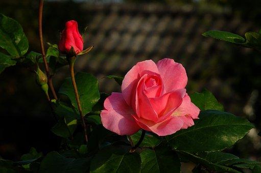 Nature, Landscape, Rose, Rosebud, Bud, Red, Flower
