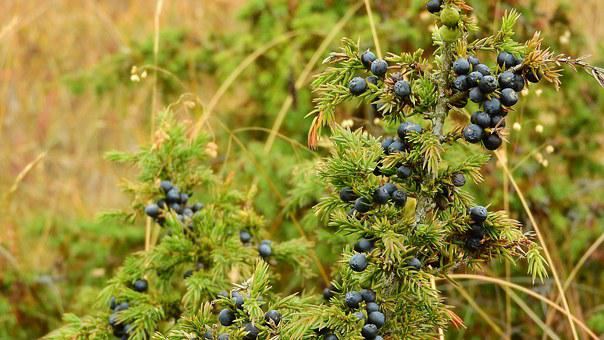 Juniper, Detail, Spices, Berry, Needles, Juniperus