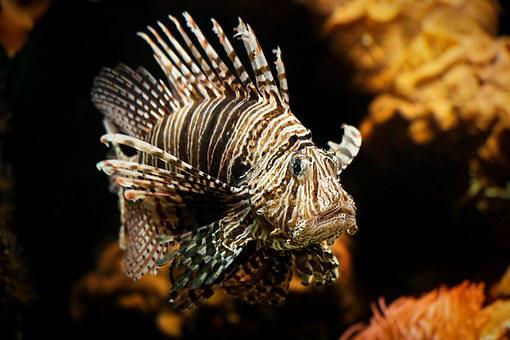 Lionfish, Aquarium, Coral, Toy, Beautiful, Striped