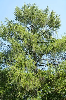 European Larch, Tree, Conifer, Aesthetic, Branches