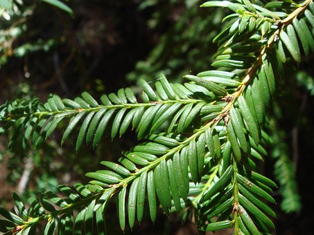 Yew Leaves, Tree, Leaves, Nature, Wilderness, Forest