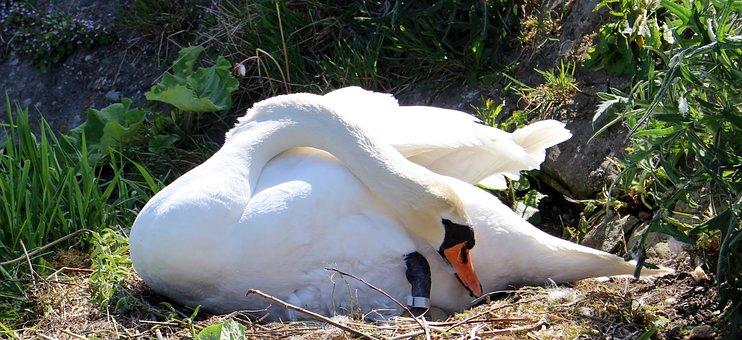Swan, Nest, Swan's Nest, Breed, Hatch, Sweltering Swan