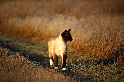 Cat, Mieze, Kitten, Autumn, Grass, Nature, Siamese Cat