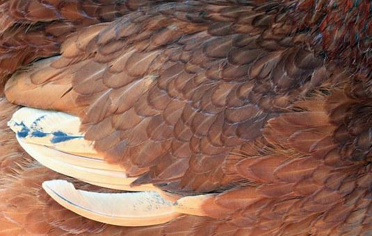 Feather, Chicken, Close Up, Red, Chick Close, Plumage