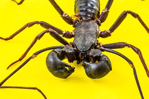 Scorpio, Geisselskorpione, Uropygi, Insect, Close