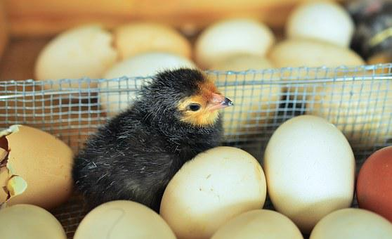 Chicks, Egg, Hatched, Eggshell, Chicken, Shell