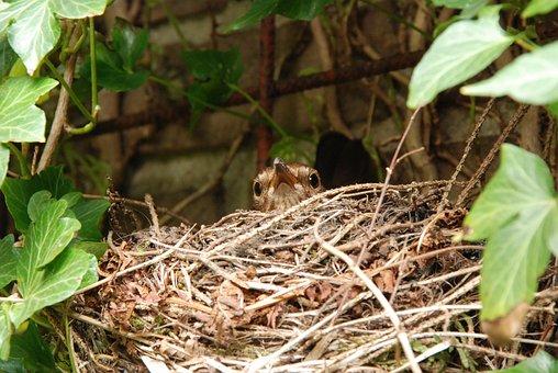 Blackbird, Bird, Nest, Hatch, Bird's Nest, Eggs