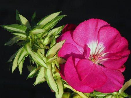 Flower, Nutmeg, Balcony Flowers, Flowers, Garden, Pink