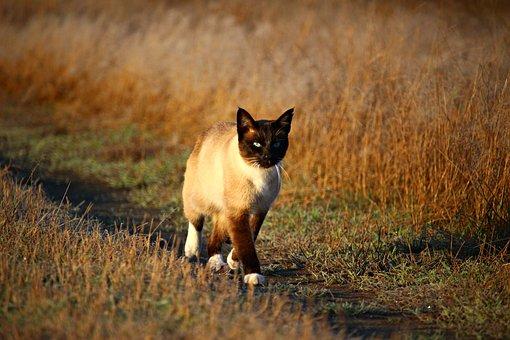 Cat, Mieze, Siamese Cat, Kitten, Siam, Siamese