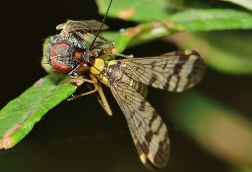 Mecoptera, Insects, Panaropa, Moscow, Scorpio, Prey