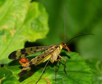 Mecoptera, Insects, Panaropa, Moscow, Scorpio