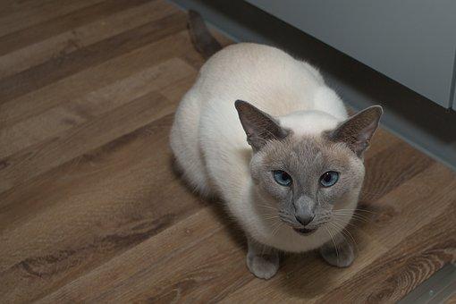 Siamese Cat, Cat, Blue Eye, Pet, Stubentieger