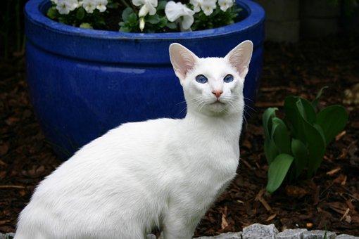 Siamese Cat, White Fur, Pet, Out, Surprised, Blue Eye