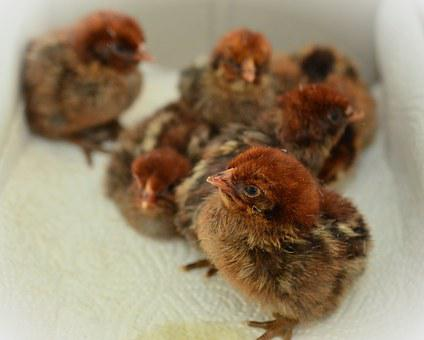 Chicks, Hatched, Fluffy, Young Animal, Fluff, Poultry