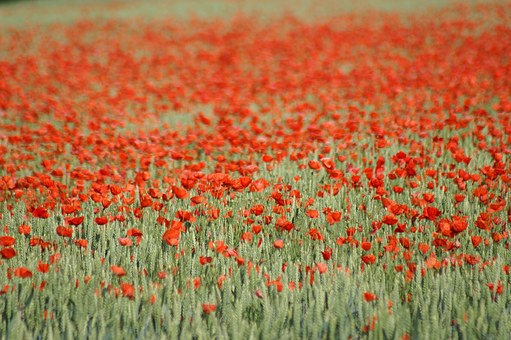 Poppy, Brightly Colored, Red, Spring, Flower, Nature