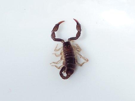 Scorpio, Animal, Sting, Toxic, Euscorpius Italicus