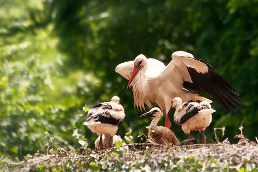 Storks, Hatching, Young Animals, Young Birds, Feed