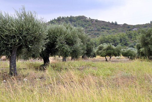 Summer, Rhodes, Olive Trees, Mountains, Forest, Field