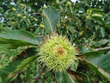 Chestnut Tree, Daddy Long Legs, Garden, Summer