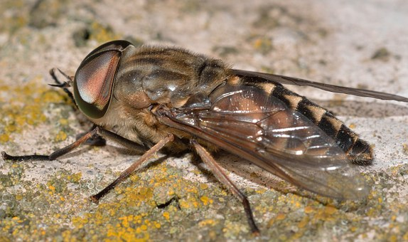 Insects, Diptera, Tabanus