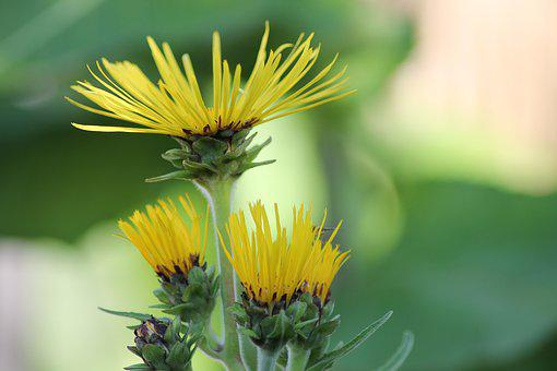 Thousand Beam, Yellow Flowers, Perennial, Insæktblomst