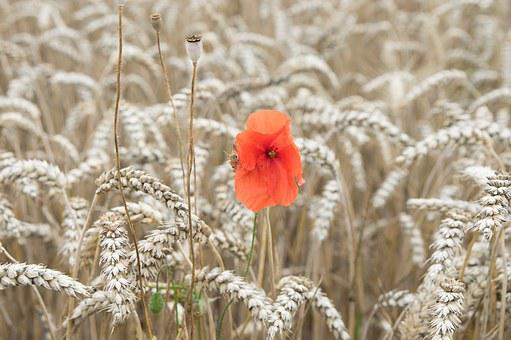Papaver Rhoeas, Triticum, Poppy, Wheat, Red, Yellow