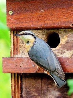 Kleiber, Feeding, Nesting Box, Boy, Young Birds
